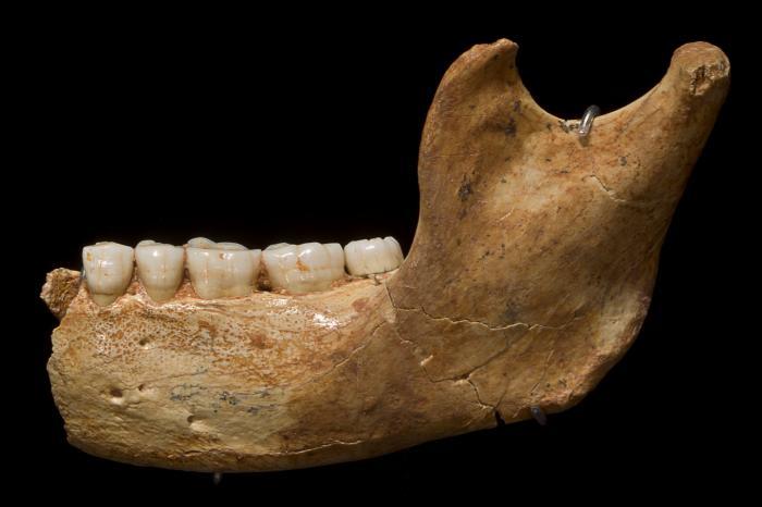 Fósil de Atapuerca exhibido en el MEH