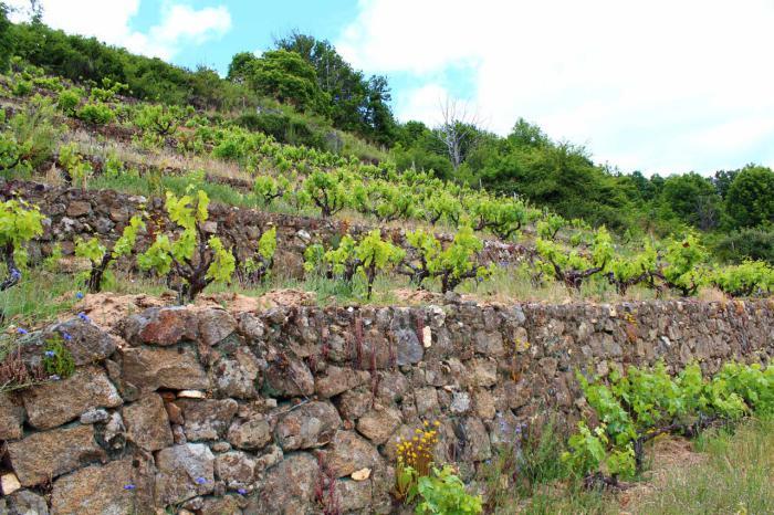 Bancales con viñas en la Sierra de Francia