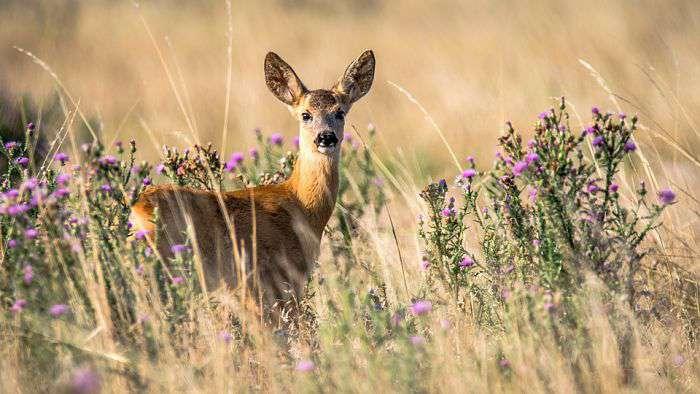 Corzo, caza, animal_opt