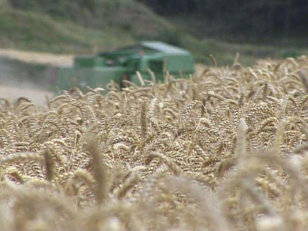 cosechadora,campo,trigo 5